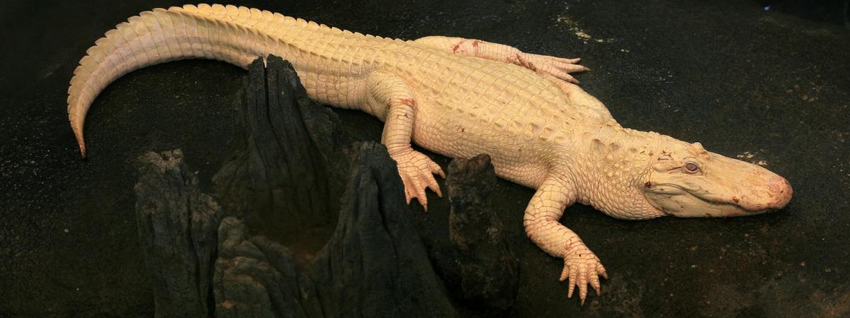 albino(1)